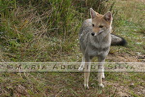 Graxaim-do-campo · Pampas fox