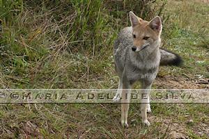 Graxaim-do-campo · Pampas fox